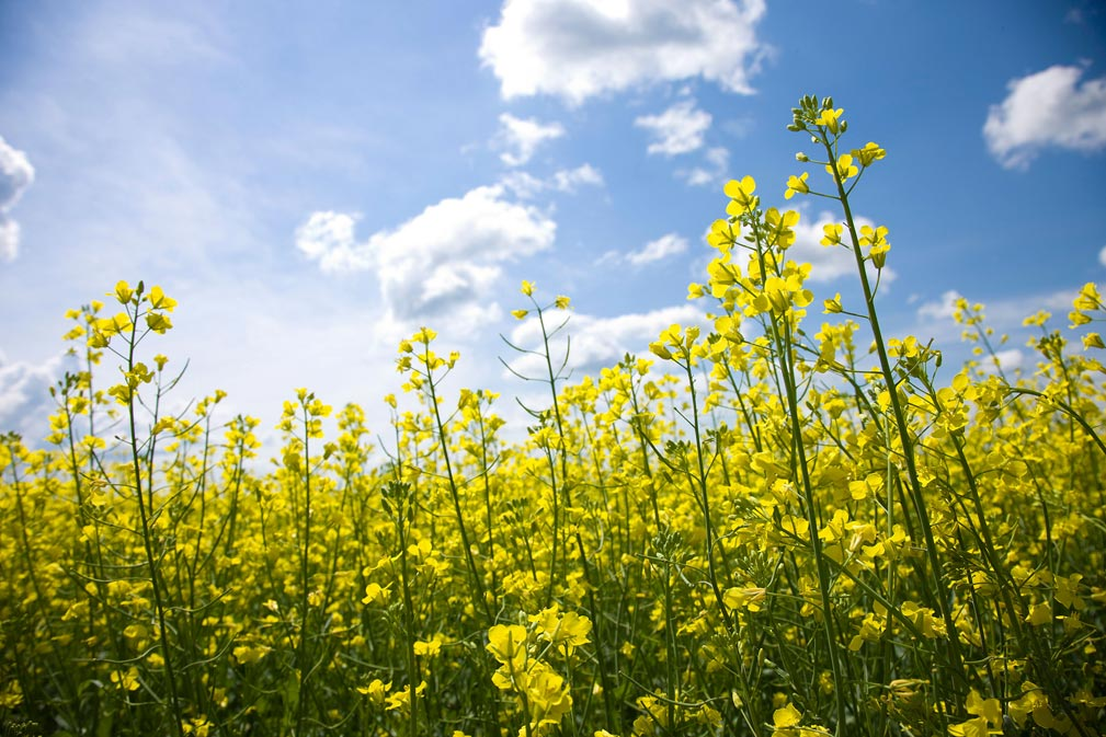 Canola Flowers 4