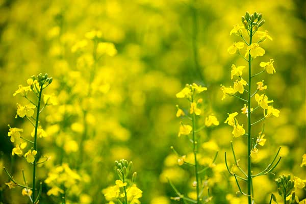 http://canolainfo.org/canola/history.php?page=19