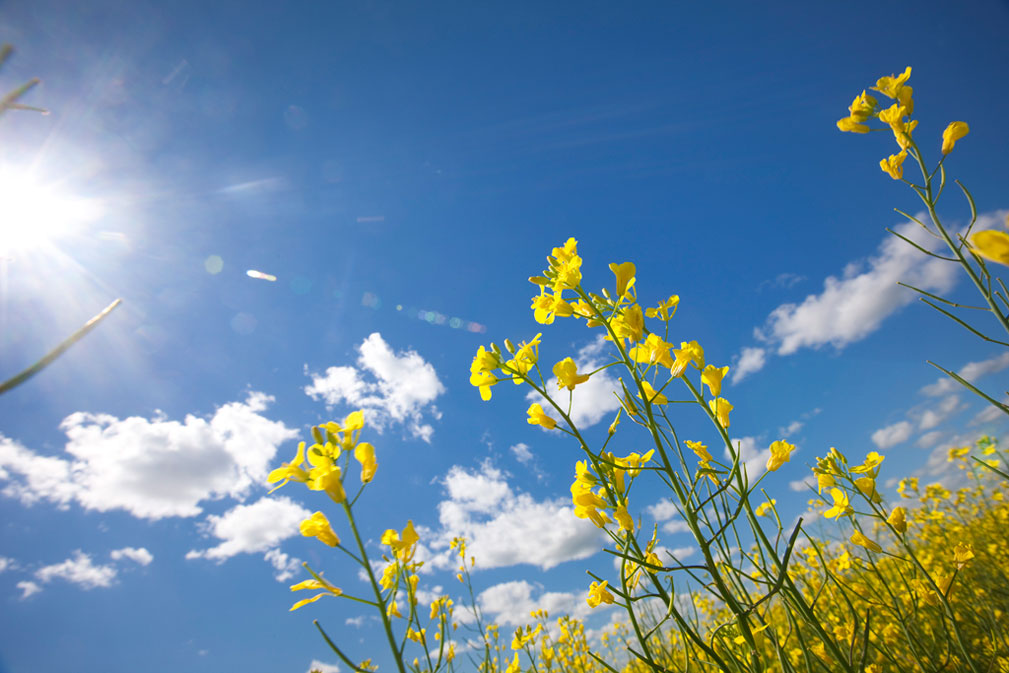 Canola Flowers 2