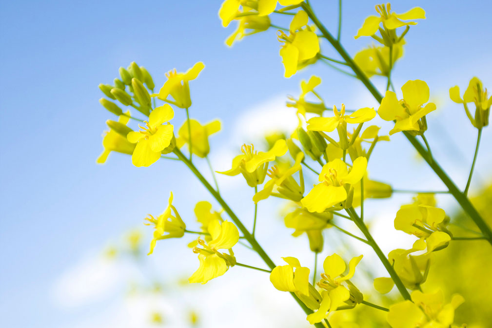 Canola Flowers 5