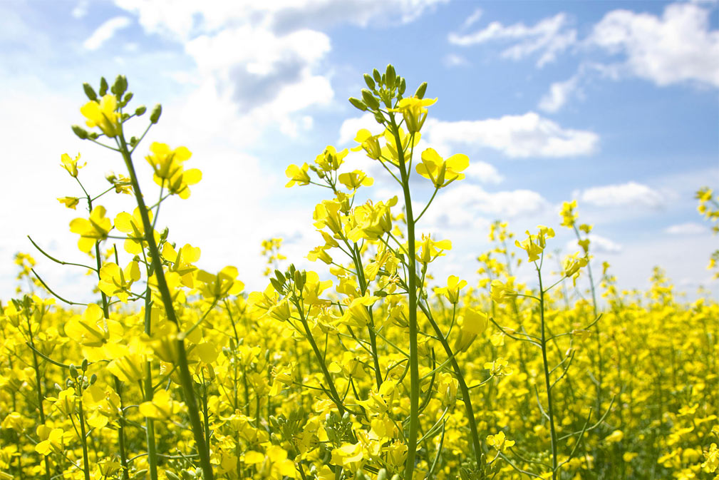 Canola Flowers 1