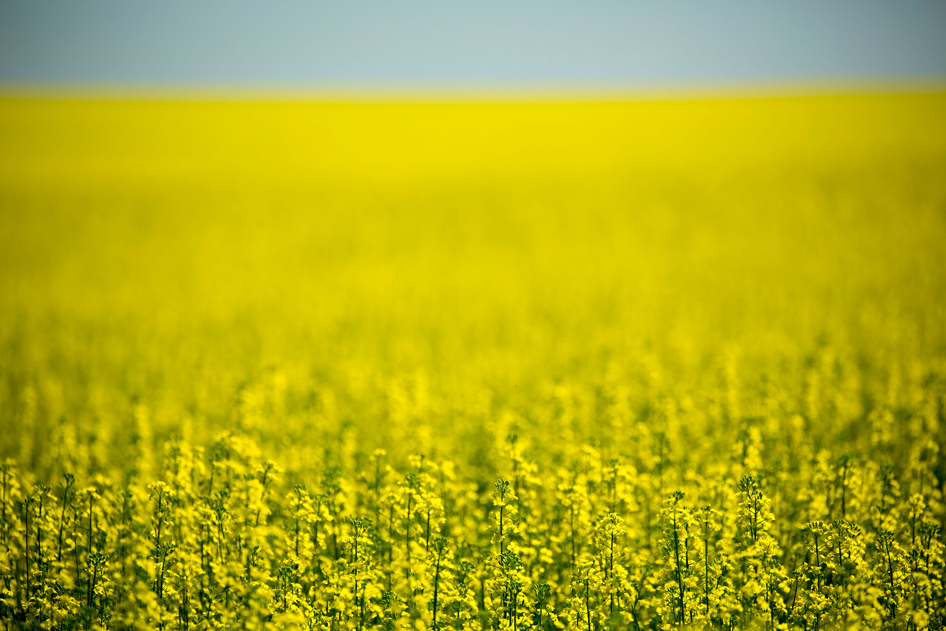 Canola Fields and Flowers
