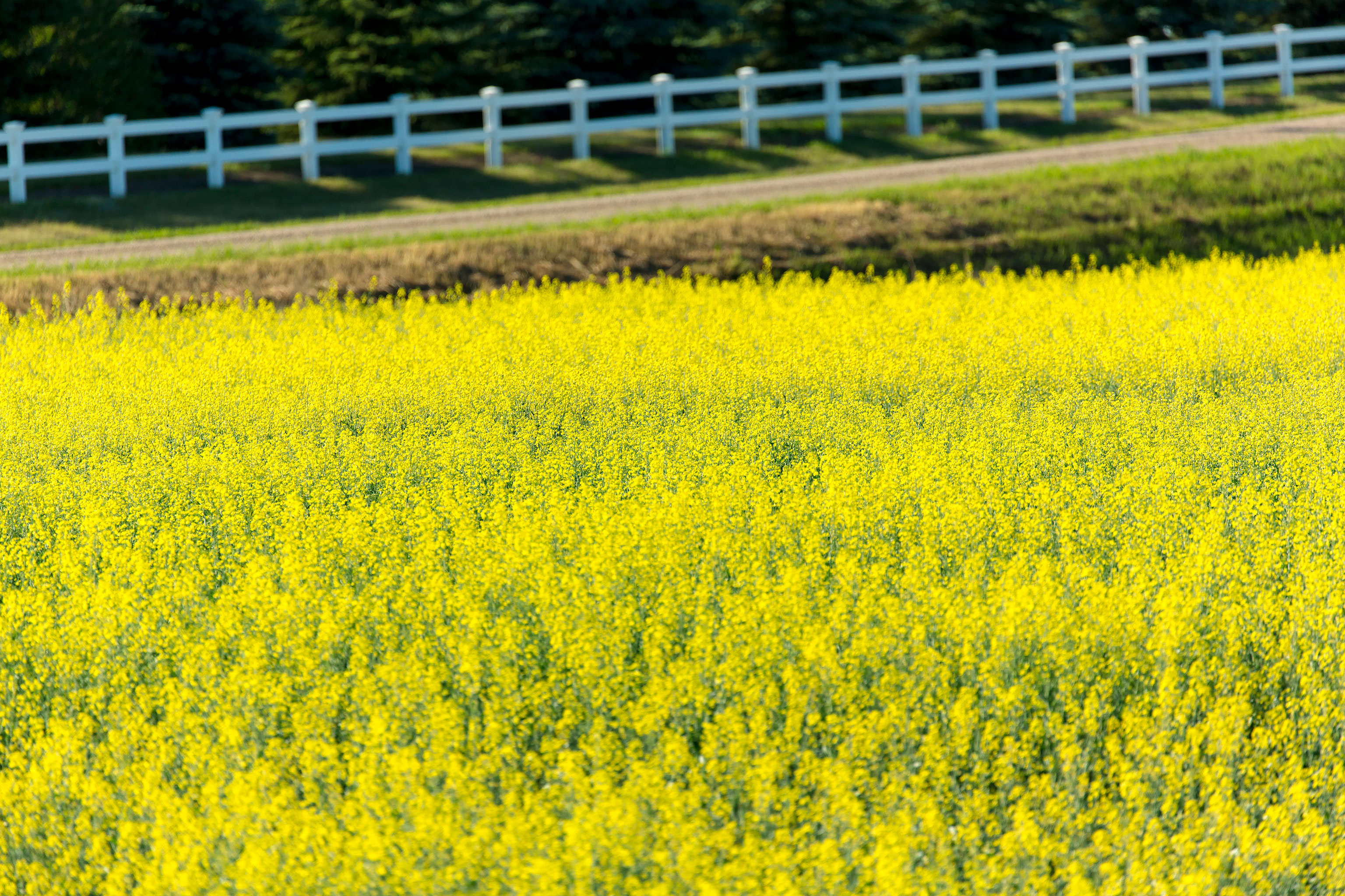 photo library details canolainfo canola oil good for every body