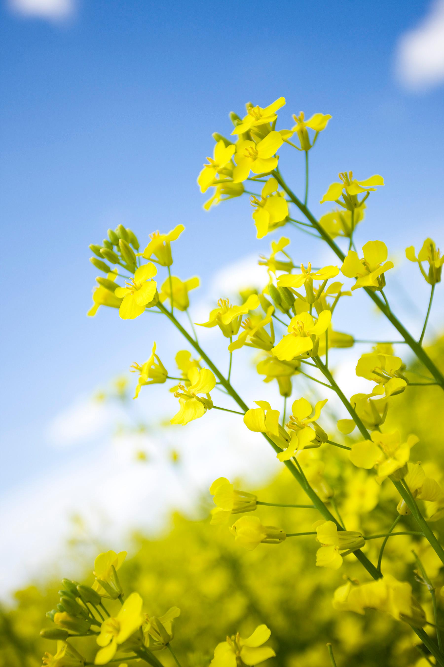 Canola campos y flores